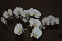 Perfect, large white Phalaenopsis blossoms. aka Orchids C Roxy Taylor Creative
