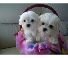 Maltese and Children: Is It a Good Combination - Champion Dogs Teacup Puppies, Cute Puppies, Cute Dogs, Dogs And Puppies, Animals And Pets, Baby Animals, Cute Animals, Baby Cats, Little Dogs