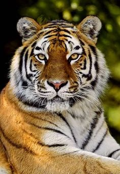 Foto Tiger Pictures, Dog Photos, Animal Pictures, Animals And Pets, Funny Animals, Cute Animals, Beautiful Cats, Animals Beautiful, Wild Animals Photography