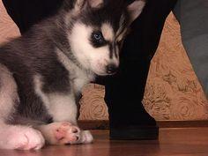 Знакомьтесь  это наш новый член семьи  ... Alaskan Malamute, Marigold, Adele, Husky, Peace, Dogs, Stuff To Buy, Animals, Animales