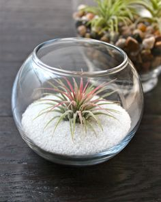 The Tillandsia ionantha guatemala is a favorite here at Air Plant Design Studio. With its striking spiky appearance, and beautiful bright green and red coloring, it really does liven up any space it adorns. This air plant starts life with a nice healthy g Small Terrarium, Air Plant Terrarium, Air Plants Care, Plant Care, Air Plant Display, Plant Decor, Glass Garden, Plant Design, Planting Succulents