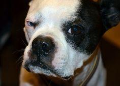 Buster, Boston Terrier
