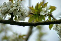 Eine kleine Biene auf der Suche nach Nektar Plants, Small Bees, Animals, Search, Flora, Plant, Planting