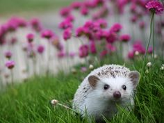 "maplebunn: ""my lil hedgie loves flowers """