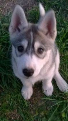 Husky Pups, Siberian Husky Puppies, Husky Puppies For Sale, 8 Weeks, Animal Rights, Ea, Dog Breeds, Wolf, Homes