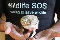 A #SpottedOwlet was rescued by #WildlifeSOS Rapid Response Unit from the terrace of a house in Delhi Gate, #Agra.  The owlet had injured its wings and legs and is currently undergoing treatment. If you come across any wild bird in distress in Agra region, please call the Wildlife SOS #Helpline Mobile 9917109666