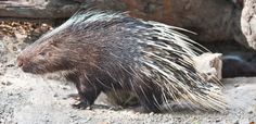 PORCUPINES: For bright-eyed visitors bristling with curiosity about the area's wildlife, the sight of one of these quietly confident locals is an unexpe...