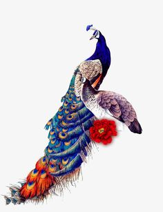 Classical Peacock PNG and Clipart Peacock Images, Peacock Pictures, Bird Pictures, Peacock Painting, Peacock Art, Wallpaper Nature Flowers, Peacock Wallpaper, Ram Image, Feather Background
