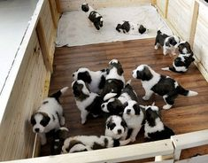 Pictures of the day: 4 February 2014 Slovakia is celebrating its largest ever litter of St Bernard puppies – 15 in total Puppies And Kitties, Baby Puppies, Cute Puppies, Cute Dogs, Doggies, Poodle Puppies, Baby St Bernard, St Bernard Puppy, San Bernardo Bebe