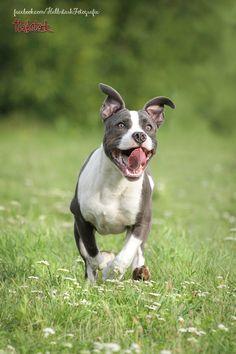 Staffordshire Terrier Fotografie Hund