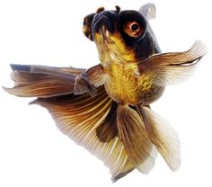 Colorful Fish, Tropical Fish, Beautiful Fish, Animals Beautiful, Coldwater Fish, Fantail Goldfish, Goldfish Aquarium, Different Types Of Animals, Aqua Culture