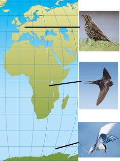 Laulurastas muuttaa Länsi-Eurooppaan, haarapääsky Afrikkaan ja lapintiira aina Etelämantereelle asti. Kahden vaakaviivan väli on 1500 kilometriä. Tieto, Fighter Jets, Movie Posters, Peda, Film Poster, Billboard, Film Posters