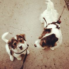 heididahlsveen:  #atsjoo and Panda #jackrussel #mixed #puppy #valp #dog #hund