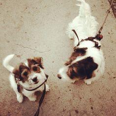 heididahlsveen:  #atsjoo and Panda #jackrussel #mixed #puppy #valp #dog #hund