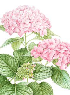 "Margaret Best: Hydrangea macrophylla. Big leaf Hydrangea - Private commission (Size: 14"" x 19""), Watercolour on paper"