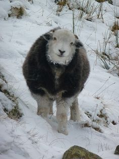 A fluffy snowy Herdwick sheep near Great Gable.
