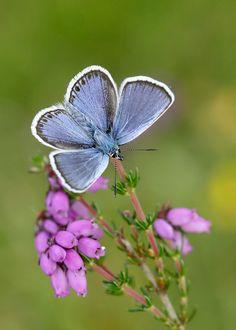Silver-studded Blue by Iain Leach