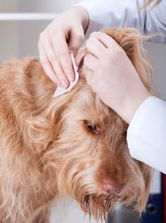 A dog ear infection home remedy is useful to treat minor ear infections at home. If your dog has contracted some minor ear infections, then the suggestions given in this article will be useful.
