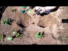 Sázení jahod na jaře: Máme pro vás návod i podrobné video - Naše zahrada
