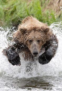Coastal Brown Bear  -  Brooks Falls, Alaska  /  Katmai National Park      -   Live Bear Cam:   http://explore.org/live-cams/player/brown-bear-salmon-cam-brooks-falls     -   -   Charles Glatzer photography   -   http://www.photobotos.com/charging-brown-bear-brooks-falls-alaska-charles-glatzer-featured-photographer/