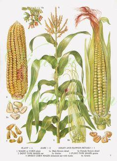 Corn Maize Cereal Grain Food Chart Botanical Lithograph Illustration For Your Vintage Kitchen 7 - Modern Design Vintage Botanical Prints, Botanical Drawings, Antique Prints, Botanical Art, Vegetable Illustration, Plant Illustration, Nature Prints, Art Prints, Illustration Botanique