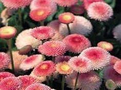 Bellis perennis 'Pomponette Pink'