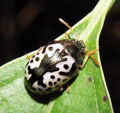 Folha Beetle (Calligrapha amator). Caterpillar caçador