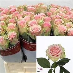 Rose dreamland 50cm is a lovely Pink cut flower - wholesaled in Batches of 20 stems. As a rule of thumb, the taller the stem the larger the flower head & longer the vase life.