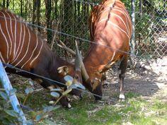 Bongos  Fort Worth Zoo Fort Worth Zoo, Zoo Animals, Horses, Horse