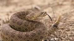Two North American rattlesnake species are commonly called diamondbacks. Here is all fact about Rattlesnake and Their Babies. Rattlesnake Bites, Selena Quintanilla, Inland Taipan, Tornados, Poisonous Snakes, Sea Snake, Snake Venom, Veneno, Snakes