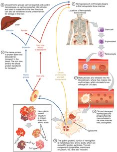 Red Blood Cell Diagram