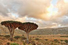 Socotra Island, Yemen  Dragonblood Trees