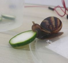 Snail Eating Cucumber Slice Stars In A Photoshop Love Story - Neatorama