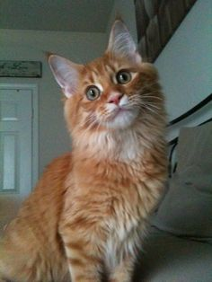 Pictures of Maine Coon Cat Breed  Lucy