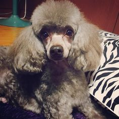 cool doggy hairstyle!   #dog #doggy #dogs