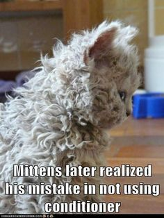 """* * MITTENS: """" Dont's let em play ya. I iz a Selkirk Rex breed. I don'ts like it either."""""""