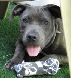 Little miss Neela is available for adoption at Mprgroup.net!  MISSOURI PIT BULL RESCUE