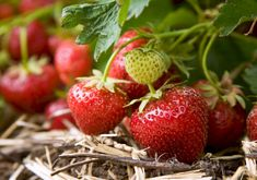 Strawberries – Korona