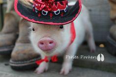 Mini teacup micro nano pet pigs Little Piggies - petite porkers