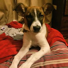 3 month old Myra  is ready to start looking for a home. From dumped on Christmas Eve to foster, she loves cats, dogs, and kids adopted January 2016