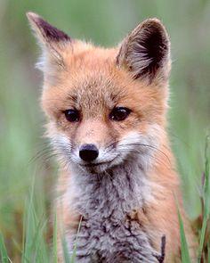 Red Fox Cub by JaniceNolan_braud - Janice Braud