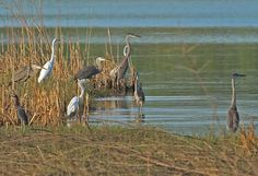 Practical urban exploration blog on the Trinity River  Great Blue Herons intermixed with Great Egrets