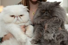 two Persian cats found on the street:  Parsley and Marmite