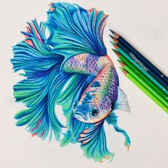 Picture of a Betta Fish drawn using colored pencils. Coloured pencil drawing of a Betta Fish using fantasy colors l used Faber Castell Polychromos and Caran D'ache Luminance and Pablo's and Holbeins to do this drawing.