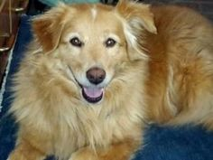 Lady Lexie - PA is an adoptable Australian Shepherd Dog in Collegeville, PA.  Lady Lexey is guessed to be approximately 5 years old, by our veterinarian. She is an Aussie/Golden Retriever mixed breed...