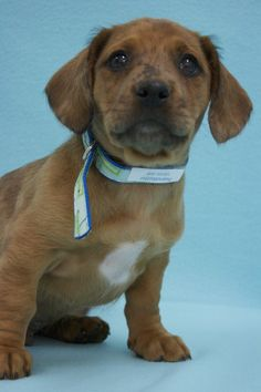 Peanut Butter, an adoptable mutt in Broomfield, CO! www.muttsavers.org
