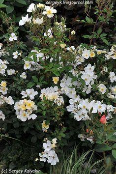 Rosa Kew Gardens (69).JPG