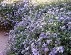 "Fall Aster Austin Native Landscaping: ""A vigorous,  properly placed Fall Aster is a real show stopper. The plant profusely explodes with outstandingly bold purple flowers. Few drought tolerant plants provide such intense color during the fall and Fall Aster is the most prominent one. Full sun and part shade adapted, we use this beauty as a mid layer in our flowerbed designs. You really can't go wrong with Fall Aster; Plant as a specimen or in a mass."""