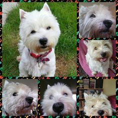 Just a Westie collage