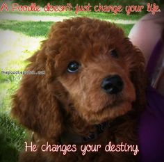 A POODLE DOESNT JUST CHANGE YOUR LIFE HE CHANGES YOUR DESTINY
